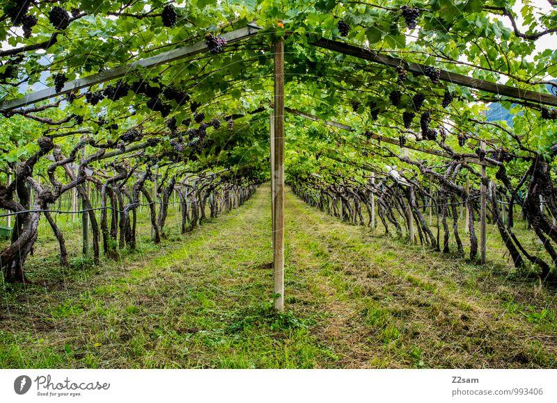 Vino Natur Pflanze grün Sommer Erholung Landschaft Umwelt natürlich Gesundheit frisch Idylle Sträucher genießen Italien Landwirtschaft Wein