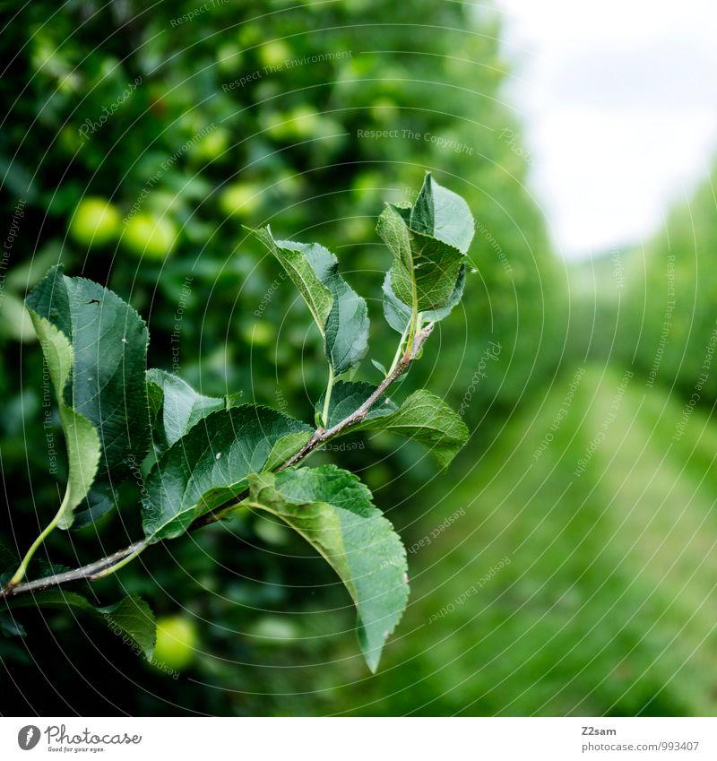 Südtiroler Äpfel Natur grün Farbe Sommer Baum Blatt Landschaft Umwelt Wiese natürlich Gesundheit Idylle Sträucher frisch Blühend Schönes Wetter