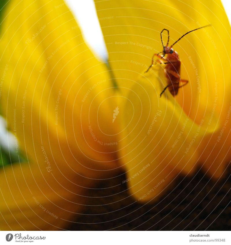 Schöne Aussichten Blume gelb Blüte Wärme Suche Aussicht Physik Insekt beobachten Gipfel Richtung Kontrolle Wachsamkeit Sonnenblume Käfer Fühler