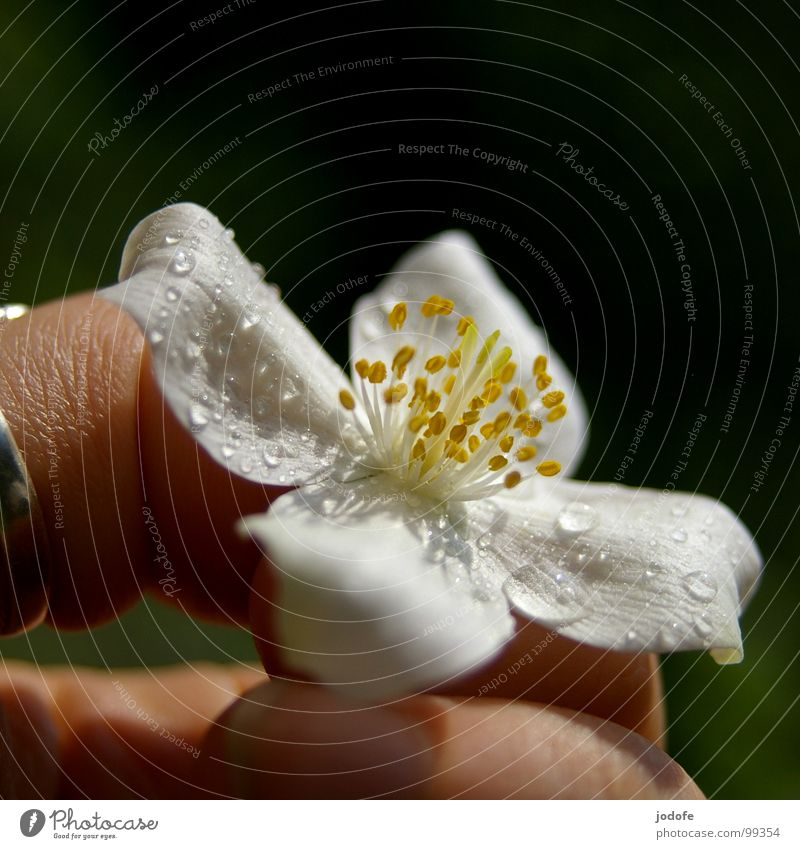 nur für dich! Blume Blüte Pflanze Sträucher Hand Finger gepflückt rein weiß gelb Blütenblatt Wassertropfen hell Frühling Sommer Herbst Stimmung Romantik
