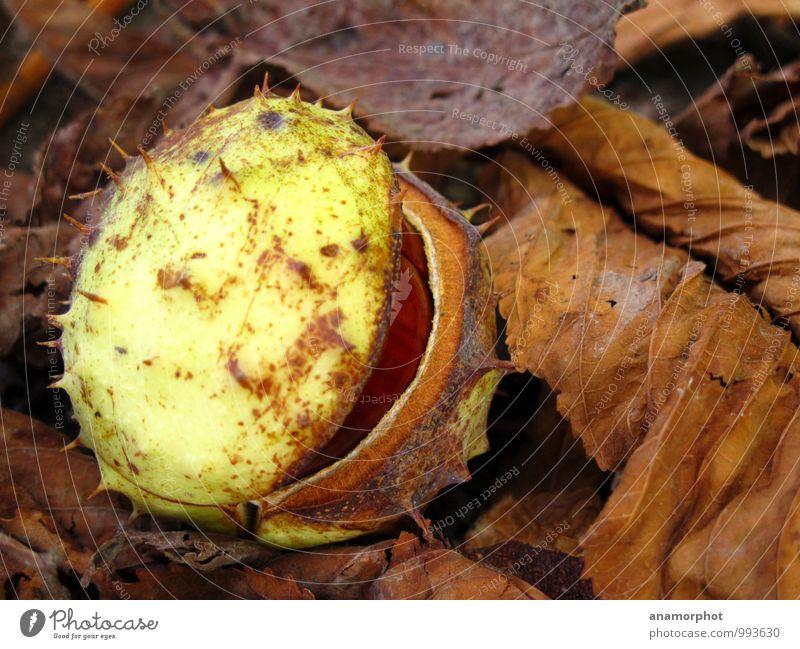 aufgebrochen Natur Pflanze Erde Herbst Wildpflanze Kastanie Wald frisch schön stachelig braun grün 2014 September Farbfoto Gedeckte Farben Außenaufnahme
