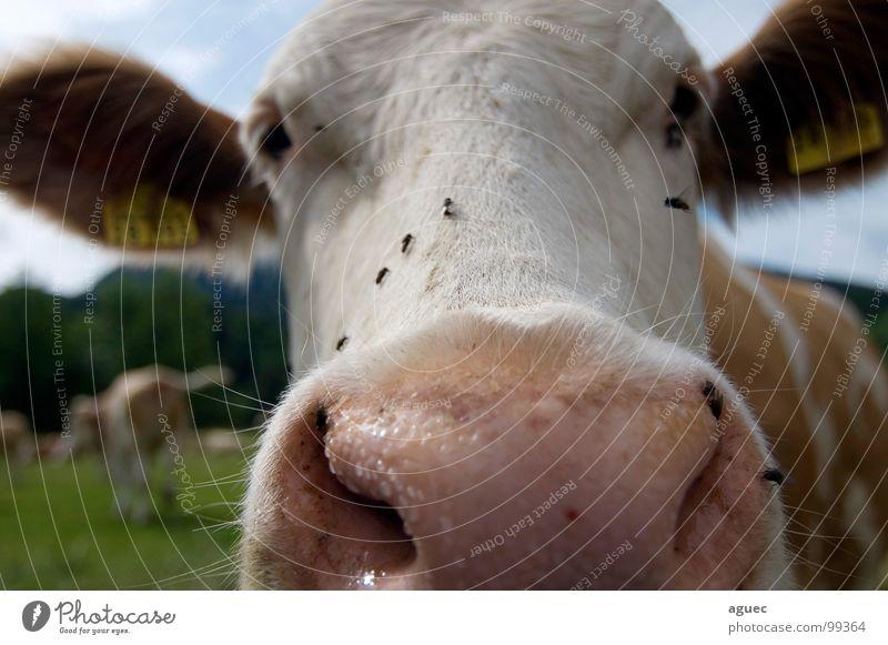 da schau her! weiß Tier Auge Wiese braun rosa fliegen Nase Ohr Neugier Fell Weide feucht Kuh Bayern Säugetier