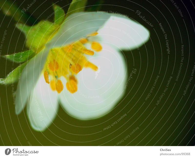 Warten auf berfruchtung Erdbeerblüte grün weiß gelb Staubfäden bestäuben Pflanze Frühling unreif Nordwalde Makroaufnahme Nahaufnahme Erdbeeren Pollen