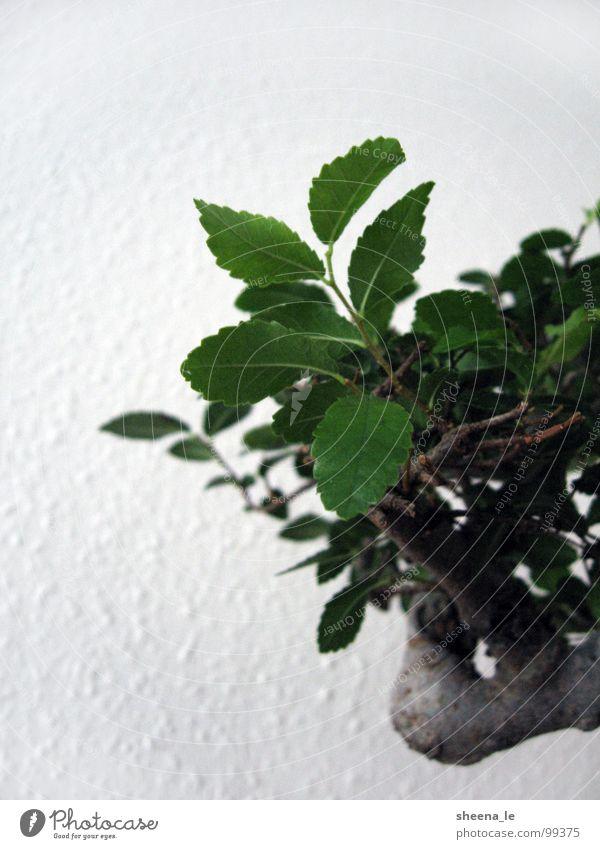 Bonsai Natur Pflanze grün schön Sommer Baum Blatt Leben Kunst Erde Dekoration & Verzierung Kraft Baumstamm Asien Süden Japan