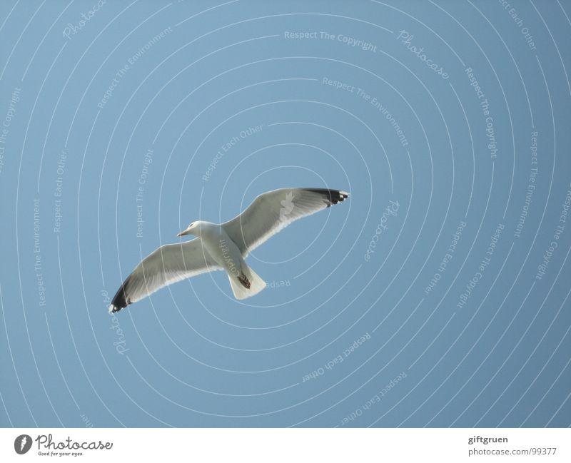 vogelperspektive Möwe Vogel weiß Schweben Strand Meer Küste Himmel blau fliegen Blauer Himmel Schönes Wetter Strandhimmel Flügel Luftverkehr