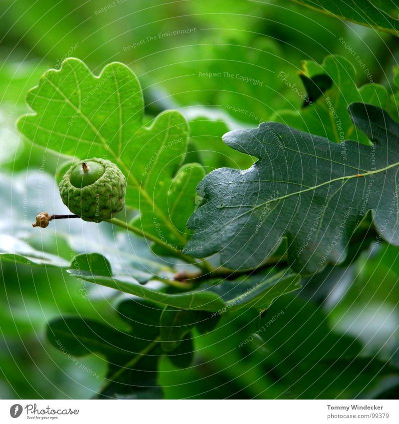 Eiche rustikal Natur grün Baum Pflanze Sommer Tier Blatt Frühling Holz Architektur braun Wachstum Elektrizität Ast weich Baumstamm