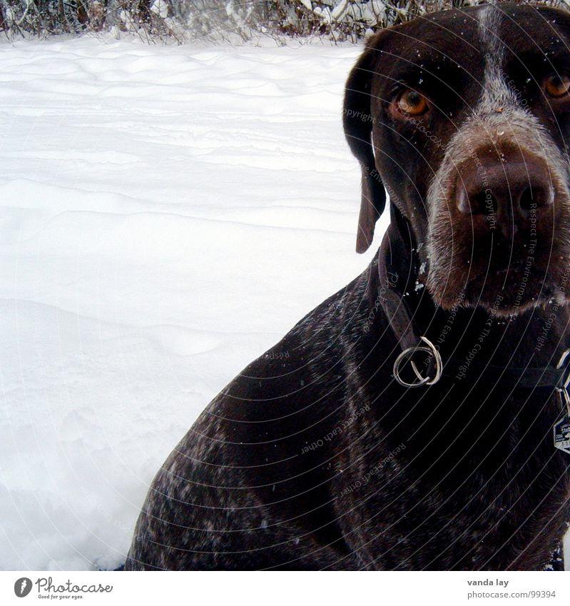 Hypnose Jagdhund Eis Zerreißen Schnee Hund Jäger Winter fixieren Halsband Tier kalt Treue beste Luft Spaziergang auslaufen Säugetier Paul Deutsch Kurzhaar Ast