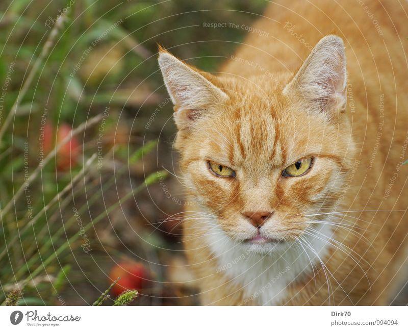 Gnadenlos ... Katze alt weiß rot Tier schwarz dunkel gelb Herbst Wiese Garten braun wild stehen frei Energie