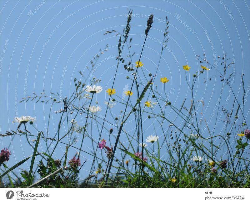 blau 06 wandern Pause Blume Gras Bergwiese Alpenwiese Blüte mehrfarbig Hahnenfuß Klee Himmel Sommer Berge u. Gebirge Alm margeritte Heilpflanzen