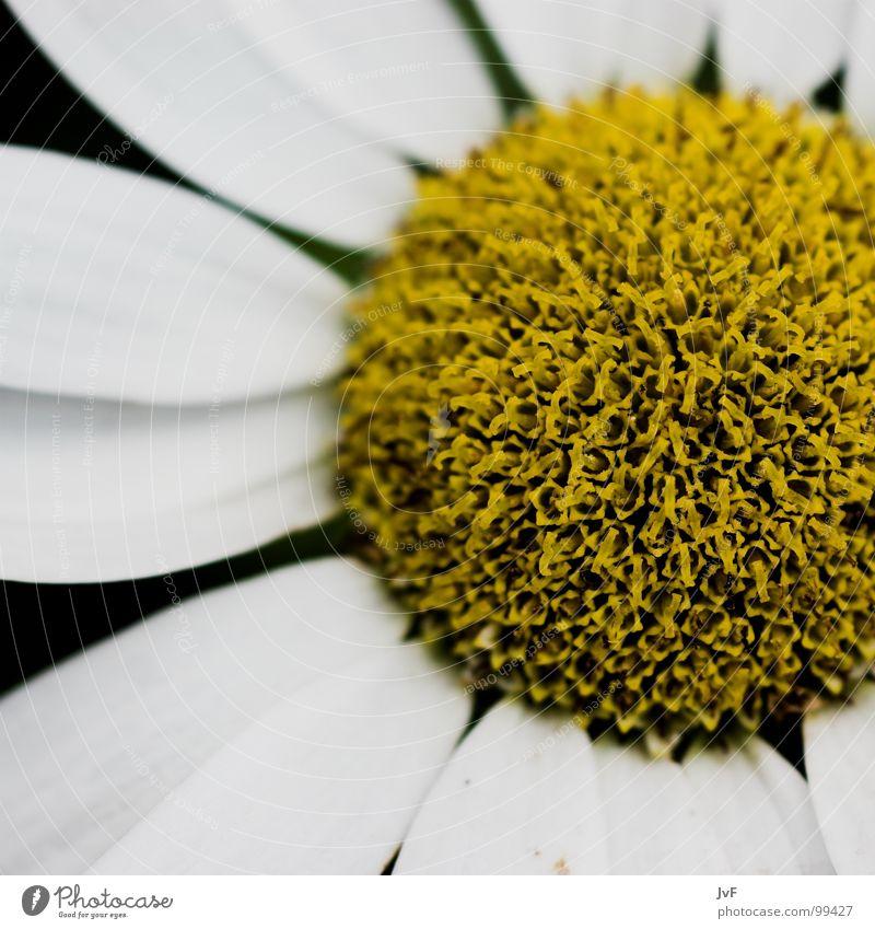 [ichhabnixgesagt] Blume gelb weiß Makroaufnahme rund knallig aufmachen Sehnsucht Blütenblatt Margerite Staubfäden Biene Honig Frühling flower Kreis round