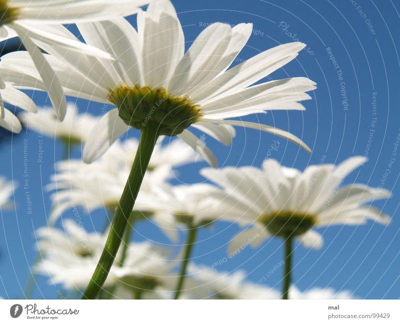 leucanthemum vulgare Himmel Natur weiß grün schön blau Pflanze Sommer Blume Ferien & Urlaub & Reisen Ferne gelb Freiheit Blüte Glück Lampe