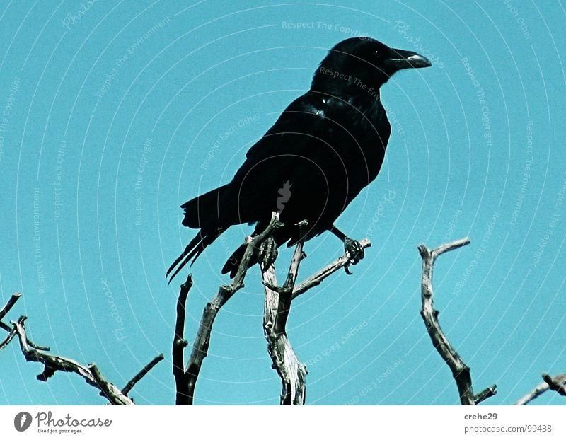 Der Boss Himmel Baum grün blau schwarz Vogel Aussicht Sträucher Ast Desaster Zweig Märchen Vorgesetzter Rabenvögel Krähe blau-grün