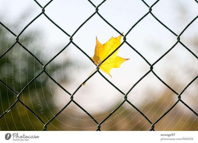 Festhalten Blatt braun gelb grün einzeln Herbstlaub Zaun Drahtzaun festhalten festhängen Mitte Zentralperspektive Farbfoto mehrfarbig Außenaufnahme Nahaufnahme