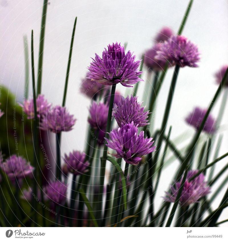 [schnittlauch] grün Blume Frühling Wachstum Ernährung violett Blühend Kräuter & Gewürze Schnittlauch