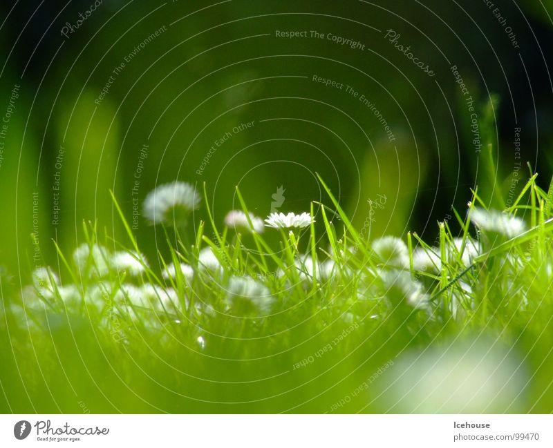 Gänseblümchenwiese Blume grün Sommer Wiese Gras Garten Rasen