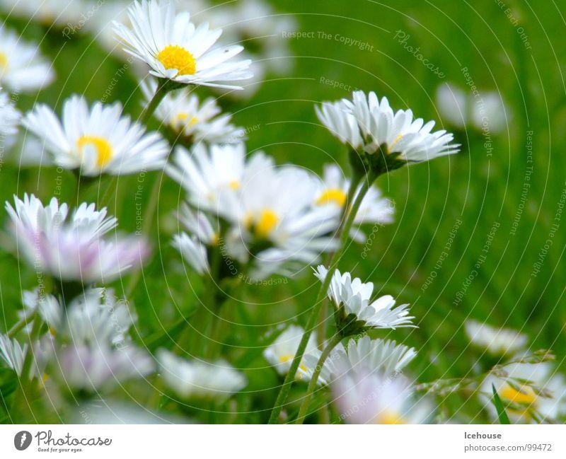 Gänseblümchen ganz groß Blume grün Sommer Wiese Gras Garten Rasen