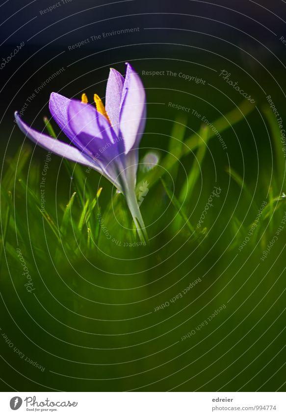In der Wiese Natur Pflanze Blüte Frühling Garten Blühend violett Krokusse