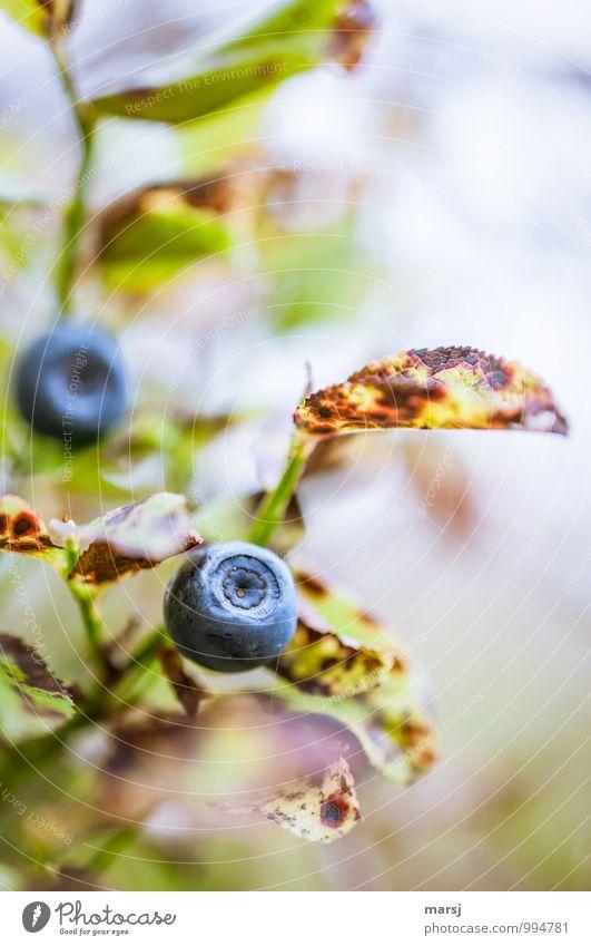 Kein | !Trash! | Sind essbar und sehr gut! Natur blau Pflanze grün Herbst Gesundheit Frucht authentisch Ernährung genießen rund süß Kugel saftig Wildpflanze Blaubeeren