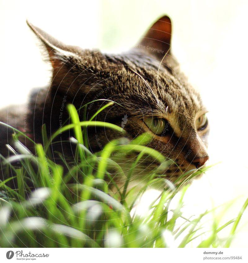 TIGER Katze Gras Angriff angriffslustig Schnurrhaar Hauskatze weiß zielen Halm ankern Säugetier Auge Haare & Frisuren Nase Ohr hauskater Blick fokusieren