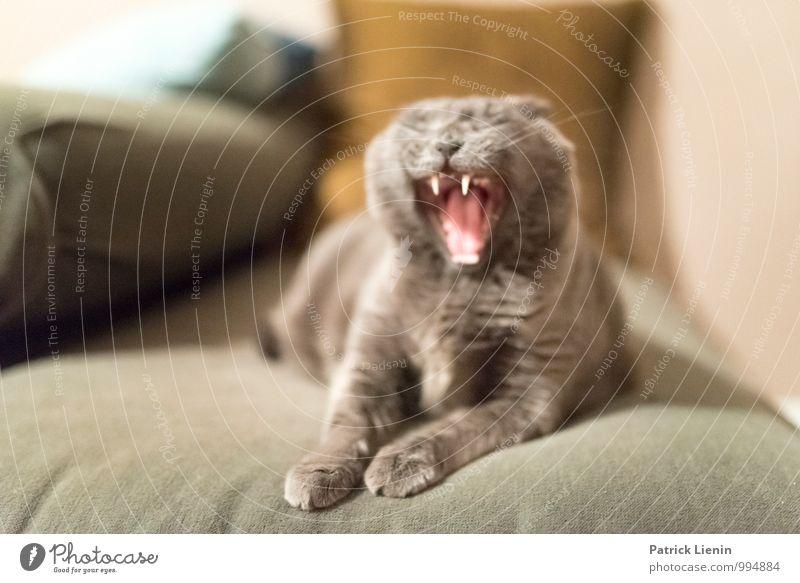 Wild Cat Umwelt Tier Haustier Katze Tiergesicht 1 außergewöhnlich schön einzigartig Wärme feminin wild weich Müdigkeit gähnen Zähne Pfote Sofa Häusliches Leben