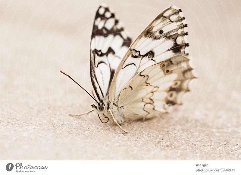 Ein Schmetterling im Sand Umwelt Natur Tier Wildtier 1 weiß schön ruhig Einsamkeit Erschöpfung Zufriedenheit einzigartig elegant Erholung Frieden Leben warten