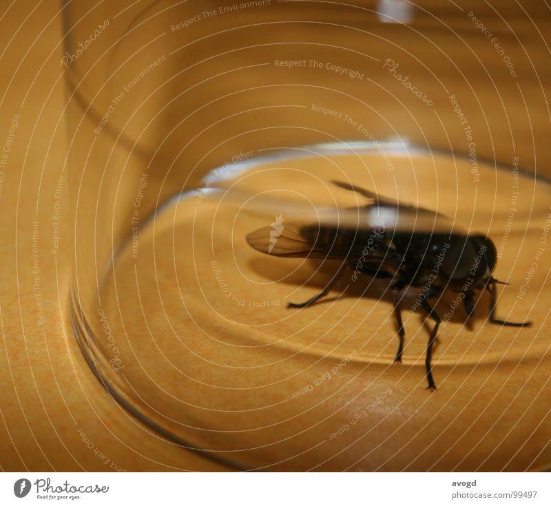 Fliegenfalle Tisch entgegengesetzt schwarz beige durchsichtig hässlich groß Macht klein Rüssel Beine Insekt Futter krabbeln rund Tier Glas Anrichte eingefangen