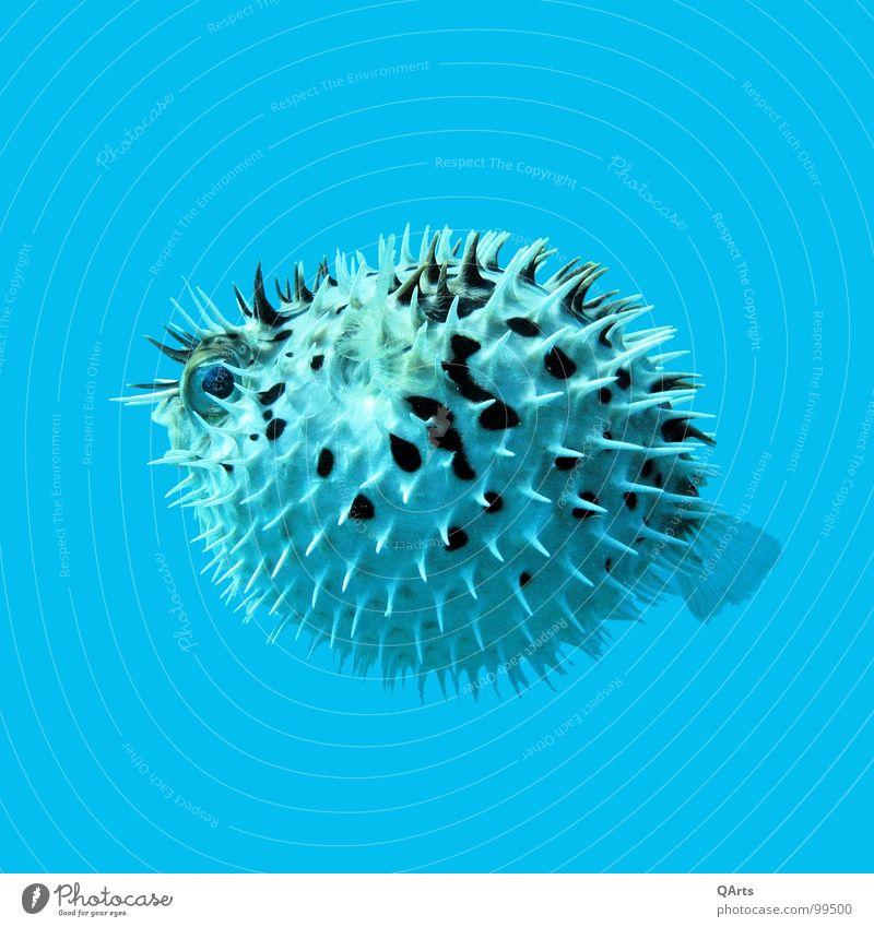 Blown up! Nr. 2 tauchen Kugelfisch Meer Islamorada Florida Florida Keys Atlantik Bordell Flucht gefährlich Fisch Angst Panik Porcupinefish Pufferfish Blowfish