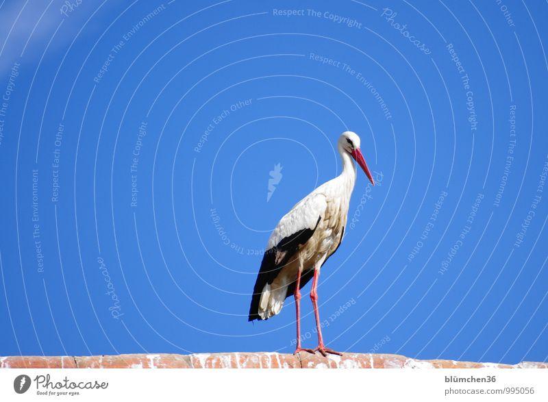 Auf dem Beobachtungsposten Tier Nutztier Vogel Storch Weißstorch Schreitvögel Zugvogel Federvieh beobachten Blick ästhetisch elegant schön natürlich