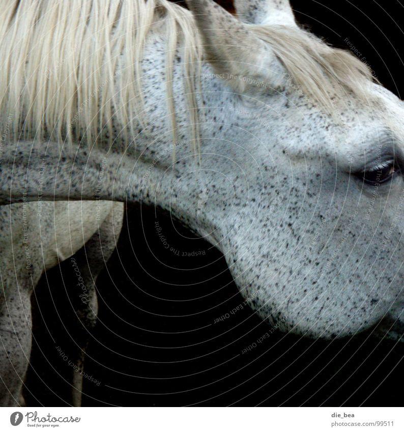 Schimmel... Pferd Mähne Muster scheckig Säugetier Schimmelpilze Hals Schwarzweißfoto Auge