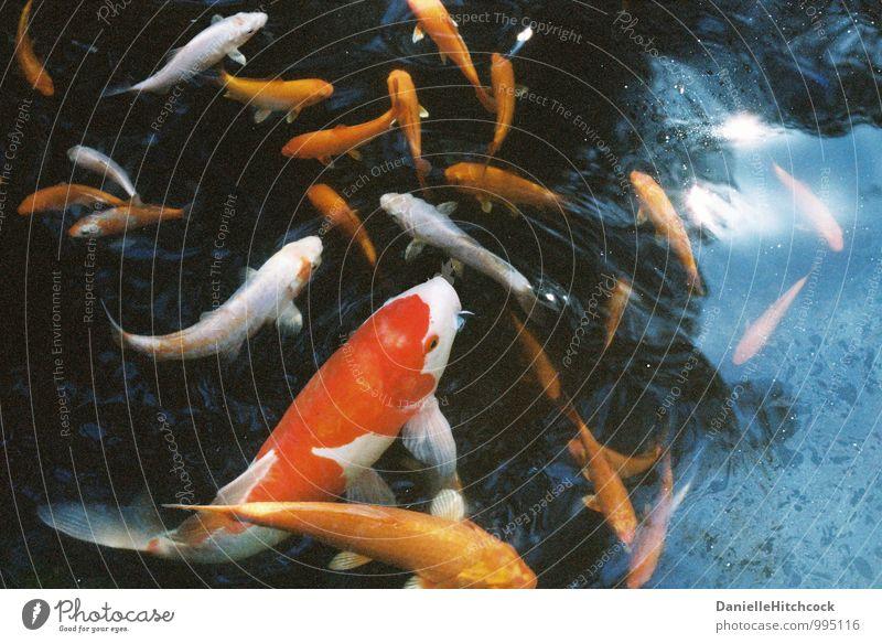 Koi Tier Haustier Fisch Aquarium Wasser ästhetisch schön mehrfarbig orange Teich Goldfisch Reflexion & Spiegelung 35 Millimeter Film Farbfoto