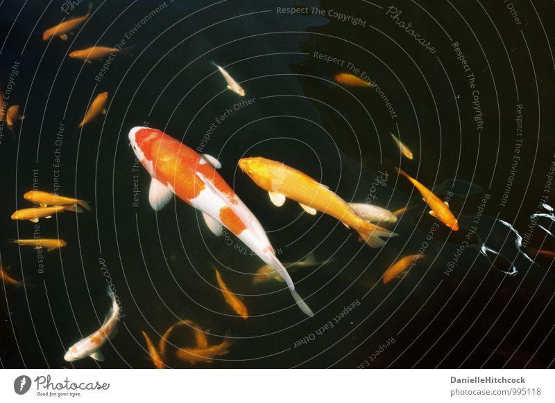 Koi-Teich Tier Haustier Fisch Aquarium ästhetisch exotisch schön mehrfarbig orange Goldfisch Badesee leuchtende Farben Gelassenheit Wasser 35 Millimeter Film