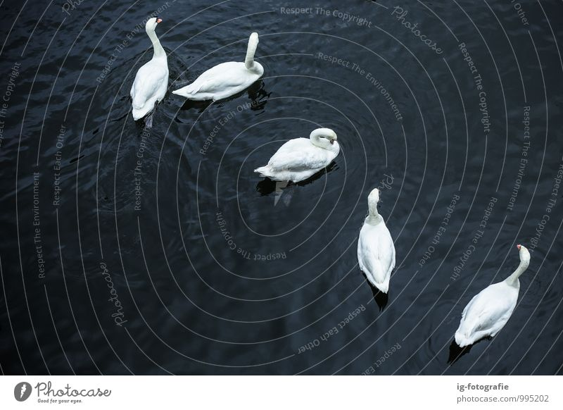 schön weiß Wasser Tier schwarz See Vogel Zusammensein elegant Kraft Tiergruppe Fluss Schwan