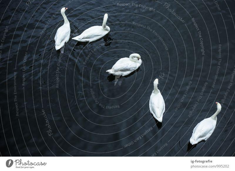 Schwanensee Tier Wasser See Fluss Vogel Tiergruppe elegant schön schwarz weiß Kraft Zusammensein Gedeckte Farben Textfreiraum links Morgendämmerung