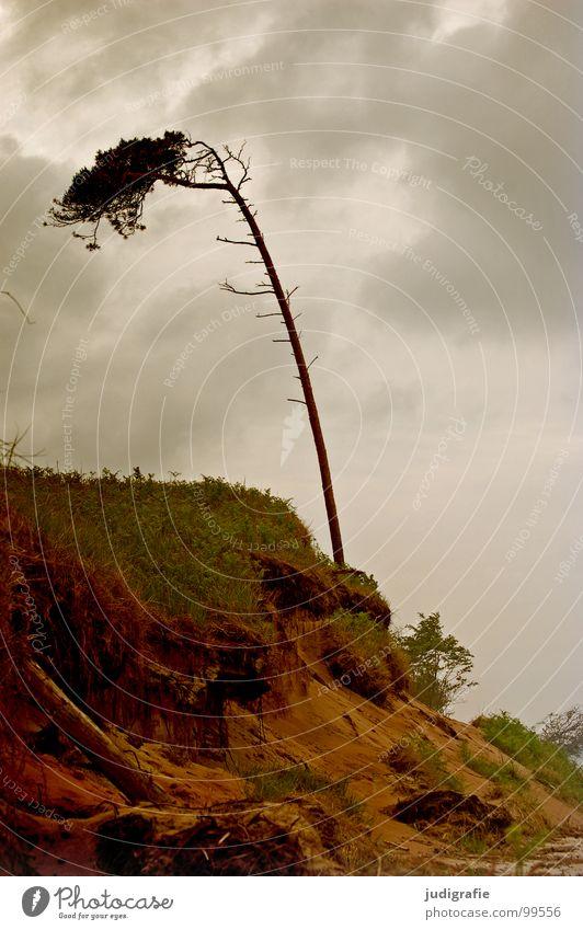 Windflüchter Sträucher Gras Fischland-Darß-Zingst Weststrand Leidenschaft Wald Waldrand schön Baumstamm grün Wiese Sturm grau trist Strand Wolken