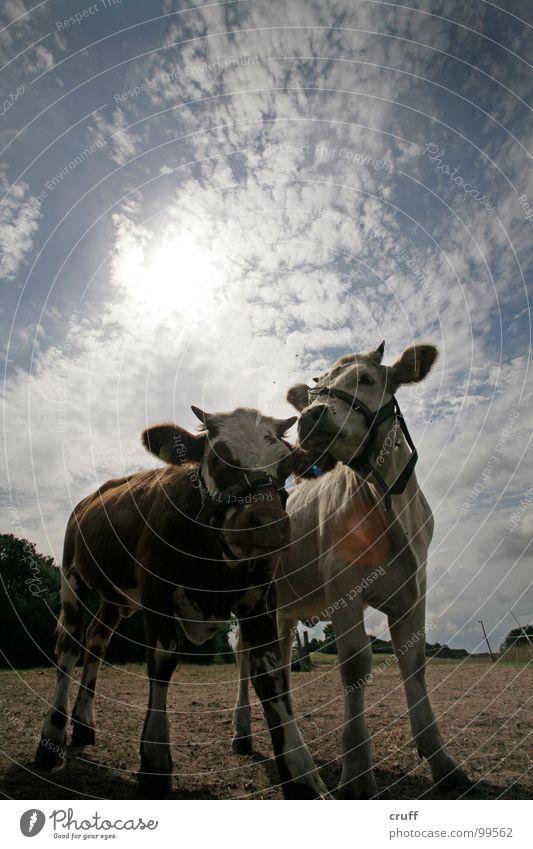 Cows'n'Clouds Kuh Kalb Wolken Gegenlicht Milcherzeugnisse Säugetier Weide Himmel Calves Field Heaven Backlight