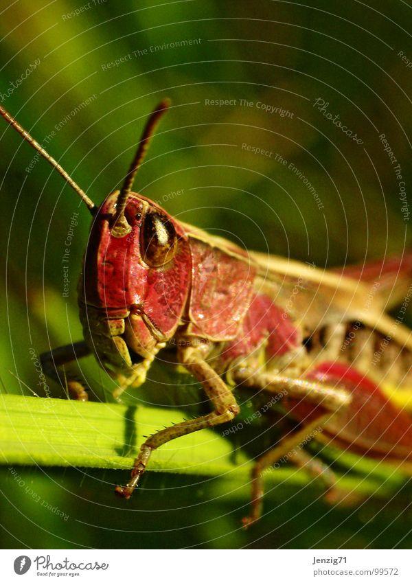 Roter Ritter. Tier Wiese Gras klein Insekt Salto Heuschrecke winzig Grünes Heupferd