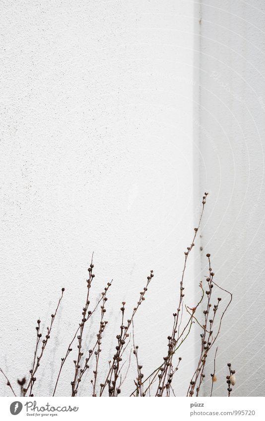 Emporkömmlinge Umwelt Natur Pflanze Sträucher Wildpflanze Menschenleer Mauer Wand Fassade Stein Beton trocken Stadt braun weiß Dürre Zweige u. Äste aufstrebend
