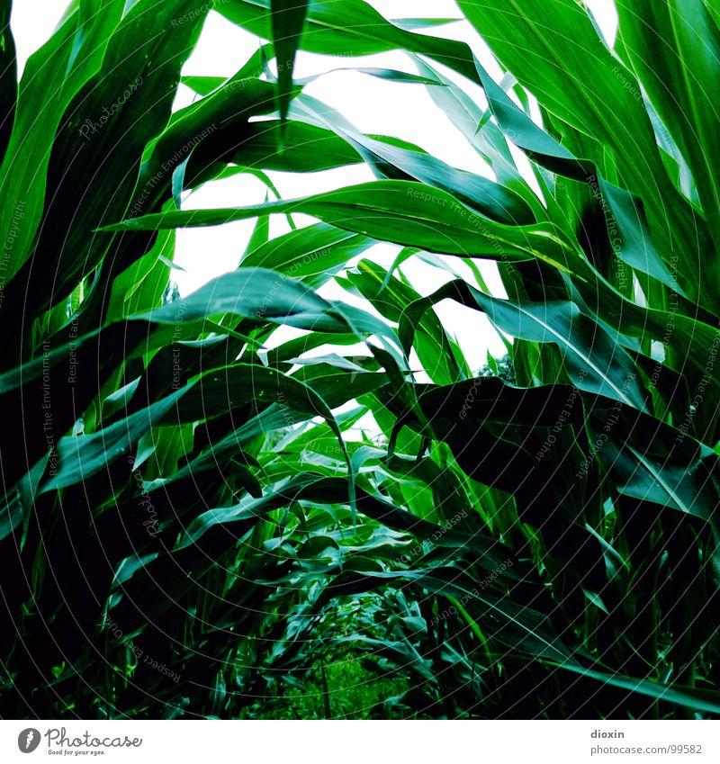 Zea Mays Natur grün Pflanze Umwelt Gras Feld Lebensmittel Ernährung Getreide Bioprodukte saftig Gartenarbeit Mexiko Grünpflanze Nutzpflanze Mais