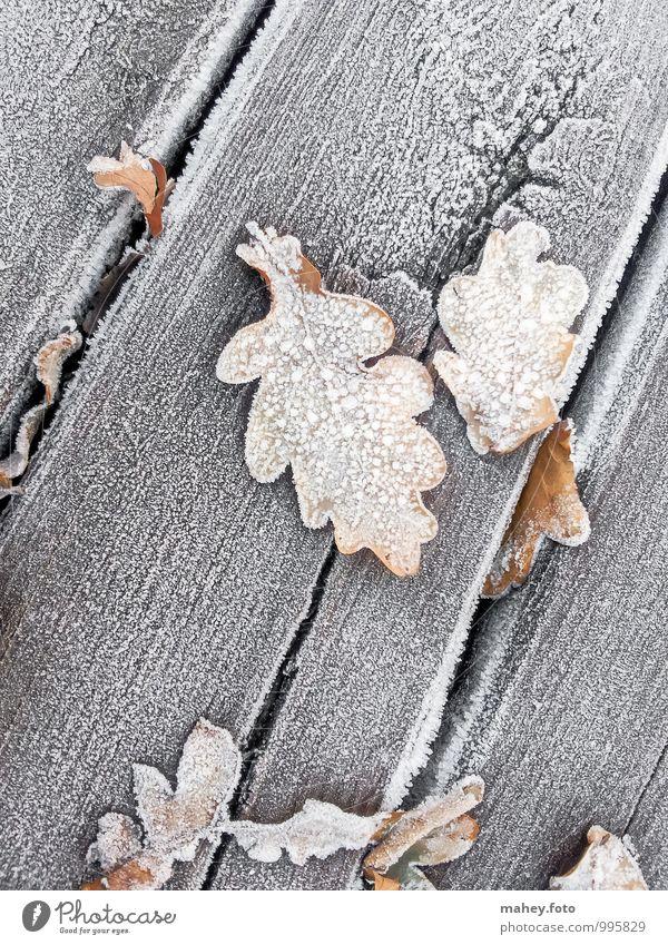 Frosttage Natur Pflanze Herbst Winter Eis Baum Garten Holz alt kalt braun Vergänglichkeit Wandel & Veränderung Holzbrett Eiche Eichenblatt Holzfußboden
