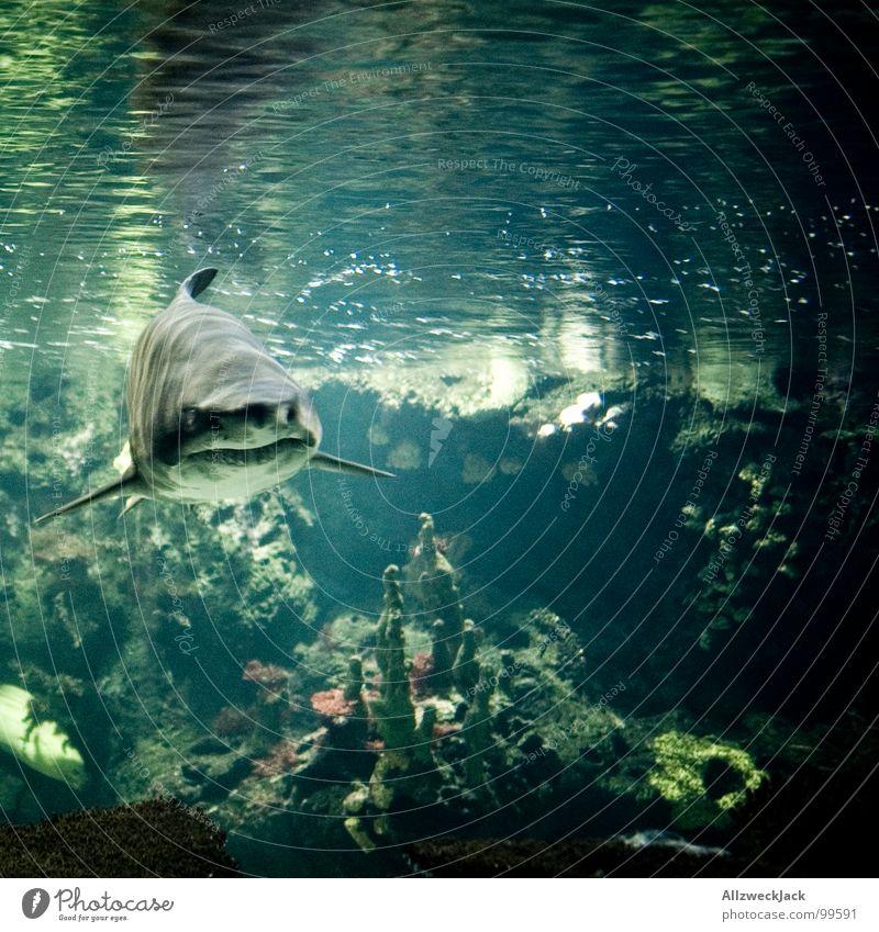 Linksträger Fressen Haifisch grau Aktion Fleischfresser gefährlich frontal böse Appetit & Hunger Aquarium gekrümmt groß Meer Meerwasser Meeresfrüchte Mahlzeit