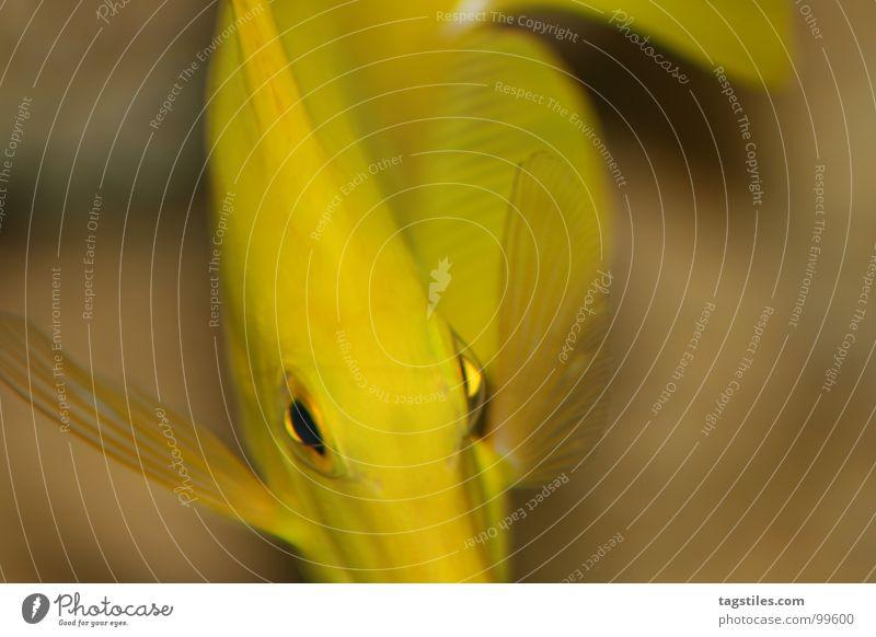 Yellow Mellow Swing Wasser Meer Auge gelb Fisch beige Schwung Swing Stielauge Doktorfisch