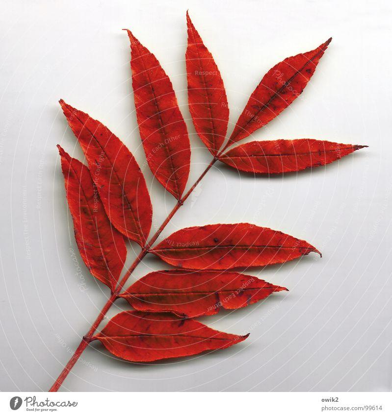 Zwei fehlen Natur alt Pflanze schön Baum rot Blatt Herbst Zusammensein trist leer Vergänglichkeit Wandel & Veränderung trocken Zweig Stengel