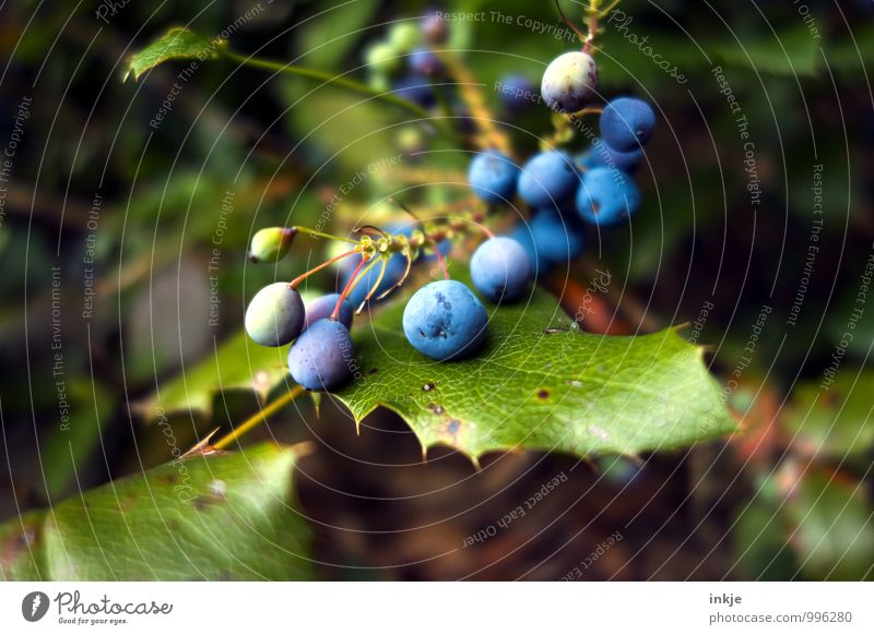 Vogelfutter Natur Pflanze Blatt Beerenfruchtstand Beerensträucher Garten rund saftig blau grün nachhaltig Farbfoto mehrfarbig Außenaufnahme Nahaufnahme