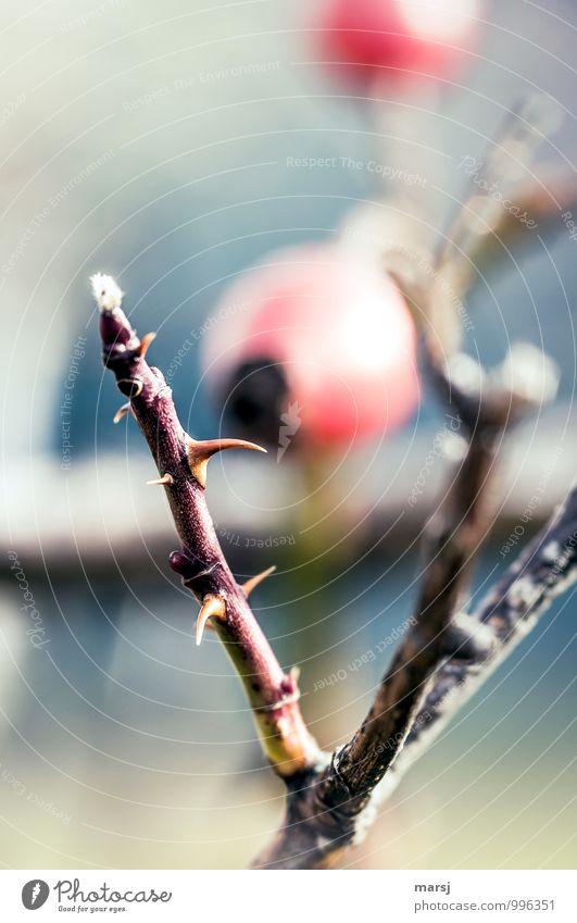 Gut beschützt Natur Herbst Pflanze Wildpflanze Hagebutten Dornenbusch Ast Aggression bedrohlich dünn authentisch einfach klein natürlich Spitze stachelig rot