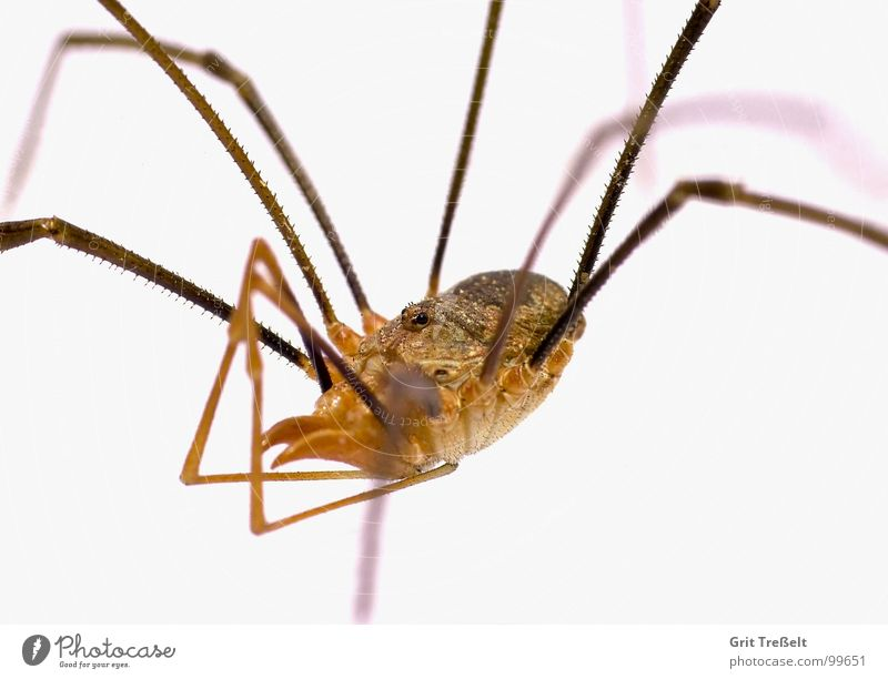 Weberknecht Auge klein Angst Ekel Spinne