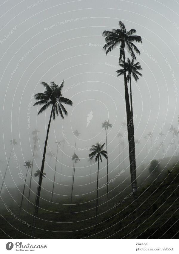 Palmenwald II Baum grau Nebel Berghang Wald schwarz weiß kalt Nebelwald Wolken Baumstamm trist trüb ungemütlich geheimnisvoll mystisch Herbst Winter Sommer