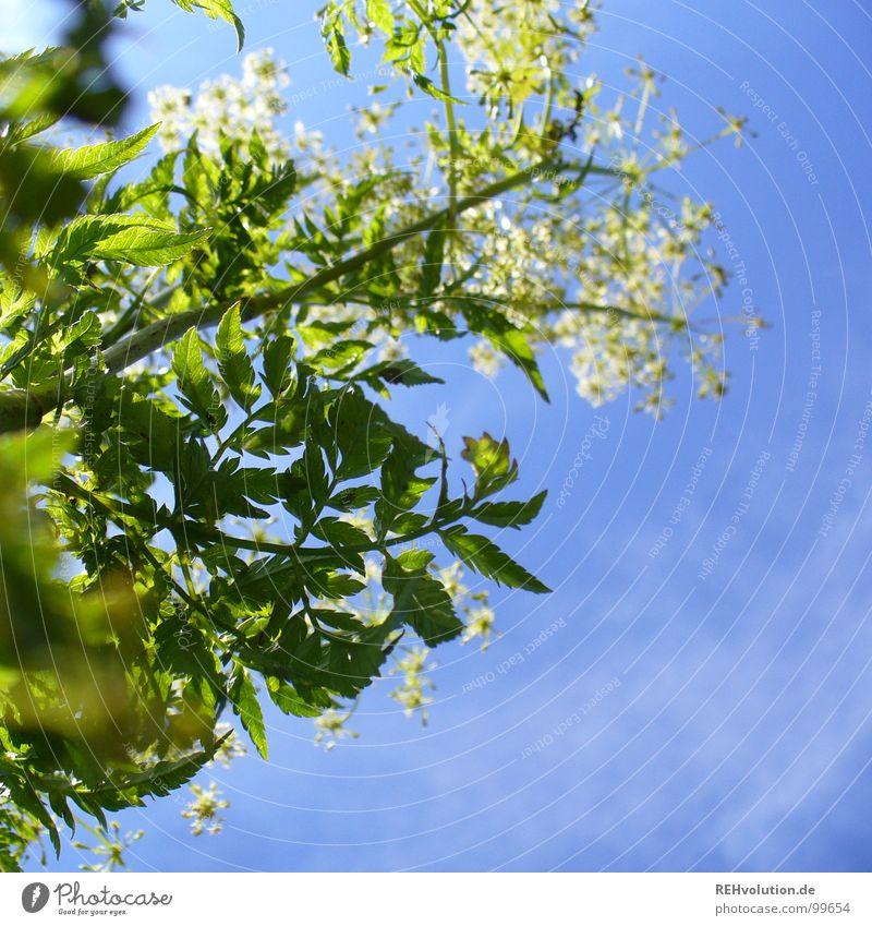 nach höherem streben Pflanze Blume Wachstum Blüte Wolken aufstrebend gedeihen strahlend Sommertag grün weiß frisch Beleuchtung Wiese Luft schön Himmel blau
