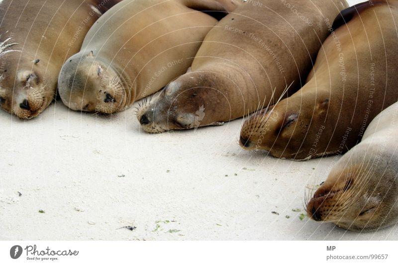 Sleepy Creatures Strand ruhig Tier Leben Glück träumen Sand Zufriedenheit lustig schlafen mehrere Tiergruppe Frieden Tiergesicht Fell Gelassenheit