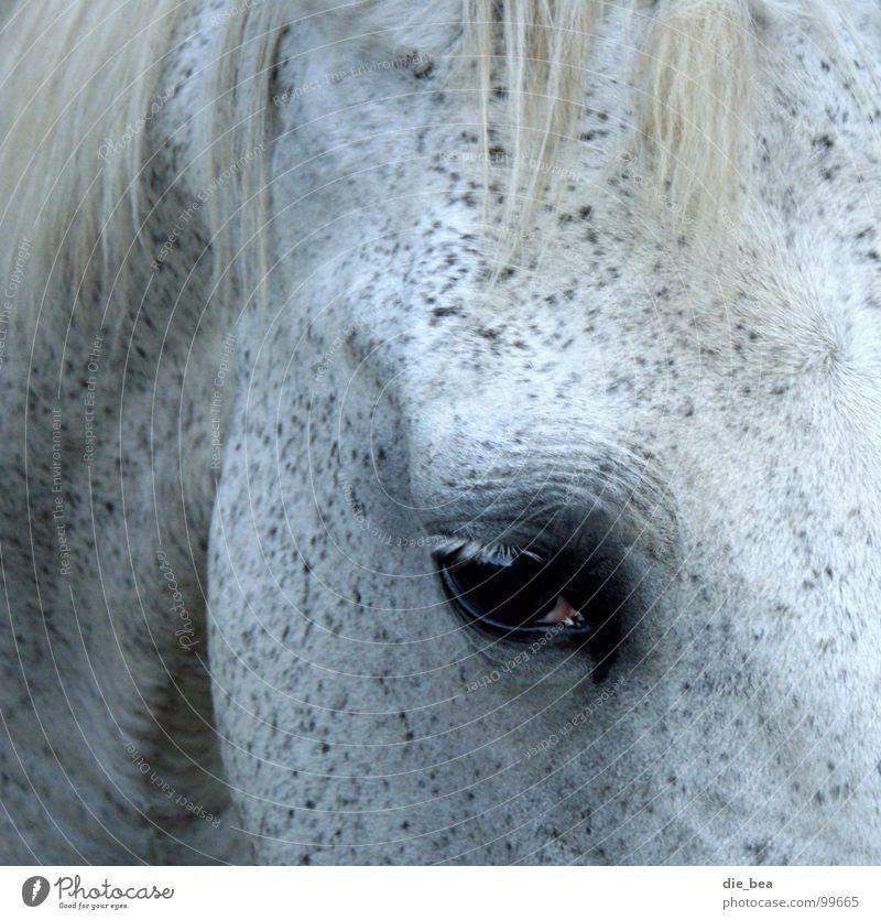 Mal sehen Pferd Mähne Wimpern Säugetier Schimmelpilze Auge Schwarzweißfoto scheckig Falte
