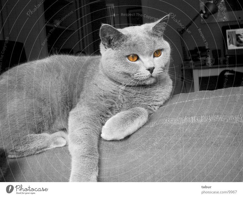 Katze II Hauskatze Raubkatze Tier Säugetier Kartäuser cat animal pet